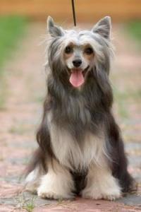 хохлатая китайская собака фото