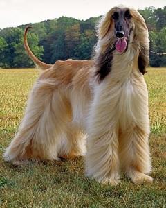 собака афганская борзая фото