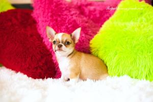 REPUBLIC RUSSO  chihuahuas RKF/FCI KENNEL Dog Club show, NDS. Чи�…уа�…уа