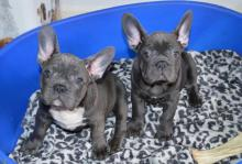 Puppies for sale french bulldog - USA, New York  Price 500 $