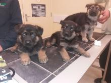 Puppies for sale german shepherd dog - Canada, Quebec