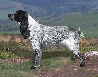 Русский охотничий спаниель - купить щенка...
