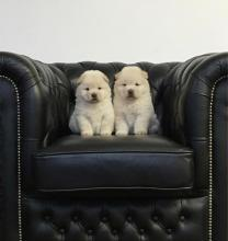Chow Chow Dogs For Sale Ireland