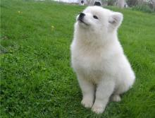 Puppies for sale samoyed dog (samoyed) - Cyprus, Nicosia