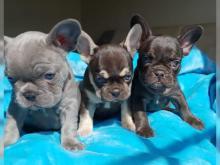 Puppies For Sale French Bulldog United Kingdom Aberdeen
