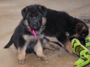 Dog breeders, dog kennels German Shepherd Puppies Available