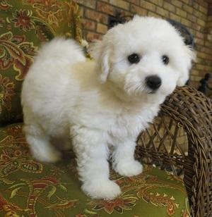 Dog breeders, dog kennels Bichon Frise puppy for home