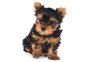 Dog Breeders Kennels Purebred Tiny