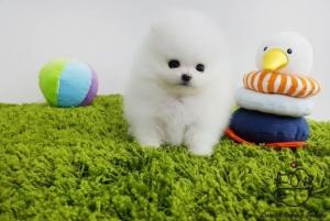 Dog breeders, dog kennels Two Awesome T-Cup Pomeranian