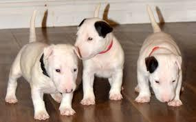 Well Trained Bull Terrier Puppies